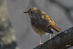 Hermit Thrush (jt893x) Tags: bird catharusguttatus d500 hermitthrush jt893x nikon nikond500 sigma sigma150600mmf563dgoshsms songbird thrush