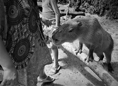 the capybara (SM Tham) Tags: asia southeastasia malaysia perak ipoh tambun thelostworldoftambun pettingzoo animal capybara rodent blackandwhite monochrome