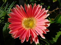 Gerbera Daisy (Madonovan) Tags: pink gerberadaisy january 2020