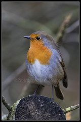 IMG_0010 Robin (Scotchjohnnie) Tags: robin erithacusrubecula ornithology bird birdphotography birdwatching ukbirds wildlife wildlifephotography wildanimal wildandfree nature naturephotography canon canoneos canon7dmkii canonef100400f4556lisiiusm scotchjohnnie