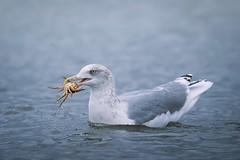 Catch of the day (Janette Paltian) Tags: janettepaltian sony 7m3 7miii 100400 gull seagull möve meer sea seaside bird crab krebs water wasser
