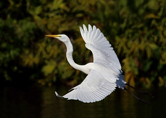 Great Egret in flight (ashockenberry) Tags: ashleyhockenberryphotography animal wildlife wildlifephotography wild wilderness nature naturephotography natural native national beautiful beauty bird beak birding birdwatching eco exotic ecosystem egret forest feathers flight florida reserve travel tourism habitat jungle light lake majestic marsh white wings wingspan avian
