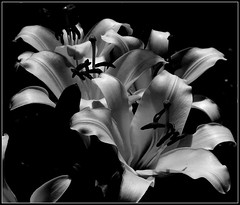 Lilie B&W. (andrzejskałuba) Tags: poland polska pieszyce dolnyśląsk silesia sudety europe plant plants roślina rośliny kwiat kwiaty flower flora floral flowers focusonforeground macro monochrome natura nature natural natureshot natureworld nikoncoolpixb500 naturephotographer nopeople beautiful beauty biały beautyofnature black blackwhite bw white lato lilia lily lilie lilies shadow summer cień czarny day garden ogród outdoor 100v10f 1000v40f