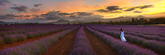 Bridestowe Lavender Farm Sunset (Ray Jennings AU) Tags: panorama lavender sunset rayjennings nikond850 focusstacked nikon35mm18g