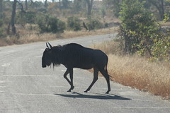 Wildebeest Crossing (Rckr88) Tags: krugernationalpark southafrica kruger national park south africa wildebeest crossing wildebeestcrossing road roads street streets animal animals nature naturalworld outdoors travel travelling