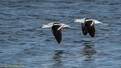 Pair of American Avocets in flight | Recurvirostra americana (lhc005) Tags: americanavocet bird basicplumage inflight pair winterplumage