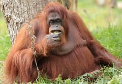 borneo orangutan Sandy Apenheul BB2A0025 (j.a.kok) Tags: animal aap asia azie ape apenheul borneoorangutan borneoorangoetan borneo orangutan orangoetan orang mammal monkey mensaap zoogdier dier primate primaat