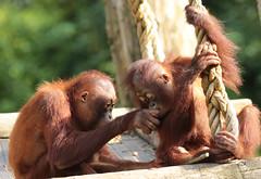 borneo orangutan Indah and Baju Apenheul BB2A1501 (j.a.kok) Tags: animal aap asia azie ape apenheul borneoorangutan borneoorangoetan borneo orangutan orangoetan orang mammal monkey mensaap zoogdier dier primate primaat specanimal