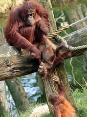 borneo orangutan Indah and Baju Apenheul BB2A1631 (j.a.kok) Tags: animal aap asia azie ape apenheul borneoorangutan borneoorangoetan borneo orangutan orangoetan orang mammal monkey mensaap zoogdier dier primate primaat