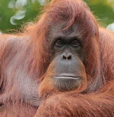 Borneo orangutan Sandy Apenheul BB2A0374 (j.a.kok) Tags: animal aap asia azie ape apenheul borneoorangutan borneoorangoetan borneo orangutan orangoetan orang mammal monkey mensaap zoogdier dier primate primaat specanimal