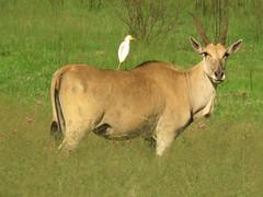 Eland and Egret  /  Eland en Veereier (Pixi2011) Tags: antelope birds wildlife rietvleinaturereserve southafrica africa wildlifeafrica nature animals wildanimals