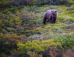 Brown Bear in Denali 2 (lgflickr1) Tags: red animal alaska alone animalplanet bear brown detail field exterior outdoor solo single d750 daytime solitary distant brownbear travel plants green nature outside nikon peaceful overcast naturallight growth nikkor naturalbeauty emerging tranquil newgrowth park orange colors grass yellow fauna mammal grey nationalpark flora colorful wildlife valley tundra grizzly wildflowers flowers