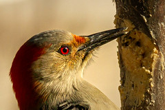 I Spy With My Great Big Red Eye... (114berg) Tags: 16jan20 red bellied woodpecker bark butter feeder geneseo illinois