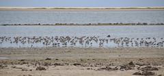 Dhanushkodi (RossCunningham183) Tags: dhanushkodi rameswaram southindia india tamilnadu shorebirds migratory waders
