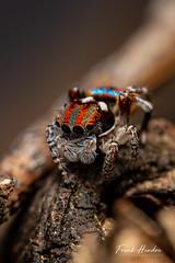 Maratus volans. Central Coast, NSW, Australia. (F.Hendre) Tags: maratusvolans jumpingspider spider arachnid maratus macro stack