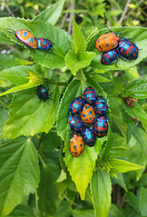Cotton Harlequin Bugs 017 (DMT@YLOR) Tags: beetles bugs hibiscus hibiscusbeetles cottonharlequinbugs beautiful colourful orange blue red green iridescent sparkle family wildlife outdoors outside nature leaves goodna ipswich queensland australia aussie pretty