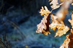 oak leaves (marchenko.victor23) Tags: oak leaves winter meyergorlitztrioplan nature bokeh oaktree trees warm cool