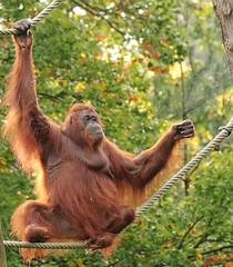Borneo orangutan Sandy Apenheul BB2A0349 (j.a.kok) Tags: animal aap asia azie ape apenheul borneoorangutan borneoorangoetan borneo orangutan orangoetan orang mammal monkey mensaap zoogdier dier primate primaat specanimal