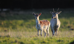 Fawn & Pricket (andy_AHG) Tags: wildlife autumn stag fallowdeerbuck antlers animals nikond300s yorkshire fawn pricket