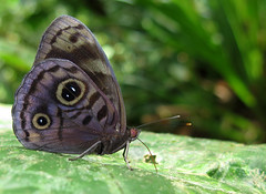 Eunica alcmena (Over 6 million views!) Tags: butterfly ecuador nymphalidae eunicaalcmena insect butterflies