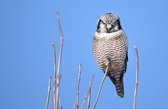 Northern Hawk Owl (ashockenberry) Tags: wildlife wildlifephotography wild wilderness water exotic eco ecosystem reserve forest feathers flight beautiful beauty bird birding beak birdwatching black nature naturephotography natural native northern majestic landscape light habitat travel tourism ashleyhockenberryphotography