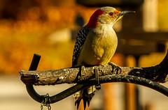 Standing Guard..... (114berg) Tags: 16jan20 red bellied woodpecker bark butter feeder geneseo illinois