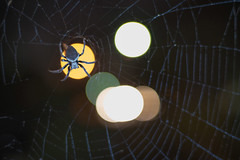 Dinner (OzzRod) Tags: pentax k1 zenitarm50mmf17 зенитарм arachnid spider web bokeh mfd newcastle australia dailyinjanuary2020