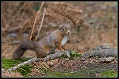 IMG_0031 Red Squirrel (Scotchjohnnie) Tags: redsquirrel sciurusvulgaris squirrel squirrelphotography rodent mammal wildlife wildlifephotography wildanimal wildandfree nature naturephotography canon canoneos canon7dmkii canonef100400f4556lisiiusm scotchjohnnie