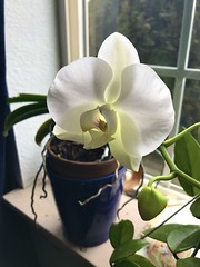 My Winter Bloomer (Ntvgypsylady) Tags: whiteflower winterbloomer buds bloom orchid