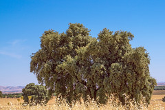 Quercus ilex (Miguel Ángel Prieto Ciudad) Tags: outdoors tree nature sky landscape scenery day growth blue oak ancient lamancha aldeadelrey ciudadreal agriculture tranquility spain sonyalpha alpha3000
