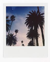 LA Palms (scottboms) Tags: animpossibleproject film projects losangeles la travel polaroid instantfilm polaroidoriginals sx70