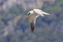 Taranui - Caspian tern - Hydroprogne caspia (Steve Attwood) Tags: bird nature wildlife auldwoodphotography steveattwood canterbury newzealand flight taranui hydroprognecaspia caspiantern tern