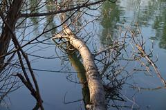 """Comme un gros insecte qui marche sur l'eau (Brigitte .. . """"Tatie Clic"""") Tags: 202001147 janvier hiver lac eau refletsdansleau branche brindilles lotetgaronne aquitaine francesudouest"""