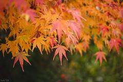 紅葉 (fumi*23) Tags: ilce7rm3 sony sel55f18z sonnartfe55mmf18za sonnar emount a7r3 leaf leaves plant ソニー 葉 紅葉 大阪 植物 bokeh