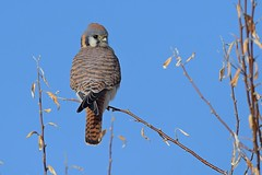 Female American kestrel (Falco sparverius) (rangerbatt) Tags: femaleamericankestrel nikon wildutah utahwildlife greatsaltlakewetlands sigma150600mmsports d7500 bird falcon kestrel americankestrel falcosparverius
