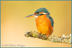 Female Kingfisher in Winter Light (www.andystuthridgenatureimages.co.uk) Tags: kingfisher female perch branch lichen lake river somerset uk canon bird fishing winter light golden gold sunshine