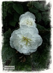 Wedding Flower (haidarism (Home Sweet Home)) Tags: nature flower macrophotography macro closeup create creative creation
