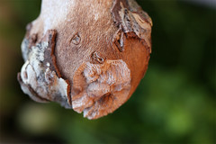 (jc.dazat) Tags: paréidolie ecorce bark nature forme expression visage tête macro photo photographe photographie photography canon jcdazat