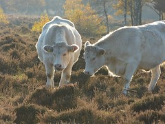 Charolais cattle in nature area De Stulp near Baarn (joeke pieters) Tags: baarn destulp utrechtseheuvelrug devuursche heuvelrugroute 1510548 panasonicdmcfz150 holland netherlands utrecht cattle cows nederland rund koeien charolais