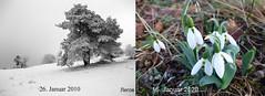 °Global warming (J.Legov) Tags: schnee baum nebel schneeglöckchen pflanze
