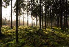 (CarolienCadoni..) Tags: sonyilcaa99m2 sony sal1635z2 light sunrise forest sun sunbeams winter january boomkroonpad drouwen drenthe holland ngc naturelovers nature naturallight