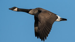 Honker - King of Sound (jakegurnsey) Tags: bird goose inflight largebird wildlife birds birding animal ontario canada 100400mm f4556 gm ngc