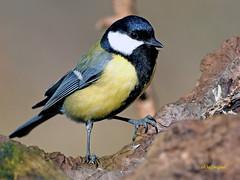 Carbonero común (Parus major) (1) (eb3alfmiguel) Tags: aves pájaro insectívoros paridae passeriformes carbonero común parus major