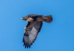 Red Tail Hawk (Beangrau12) Tags: redtailhawk raptor bird birdinflight birdwatching birder hawk action nikond500 nikon200500mm