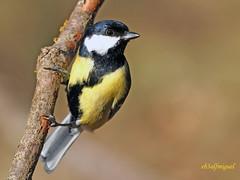 Carbonero común (Parus major) (13) (eb3alfmiguel) Tags: aves pájaro insectívoros paridae passeriformes carbonero común parus major