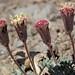 Nevada dustymaidens, Chaenactis nevadensis