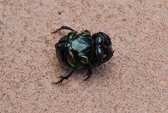 Shiny Bottom (ACEZandEIGHTZ) Tags: nature beetle dung macro closeup nikond3200 rainbowscarab phanaeusvindex iridescent shiny green female insect