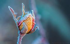 winter rose (violafoto ♫) Tags: winter rose macro makro nikon d750 nikond750 cold raureif frozen frost rime violafoto germany deutschland lauffenamneckar tamron180mm