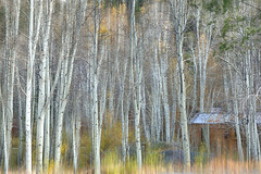 Birch Forest (lfeng1014) Tags: birchforest betulapapyrifera whitebirch hopevalley laketahoe california usa birchtree autumncolours autumn landscape canon5dmarkiii ef2470mmf28liiusm trees shed artisticexpression lifeng