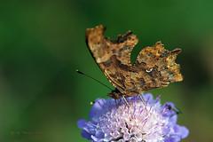Polygonia c-album (Linnaeus 1758) (ajmtster) Tags: macro macrofotografía insecto insectos invertebrados mariposas mariposa lepidopteros nymphalidae ninfalidos amt polygoniacalbum calbum cblanca reverso butterfly butterflies papillon farfalle